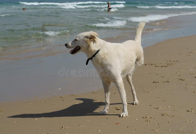 Cheerful disability dog on three legs playing on Beach in Charles Clore Park. Tel Aviv stock images