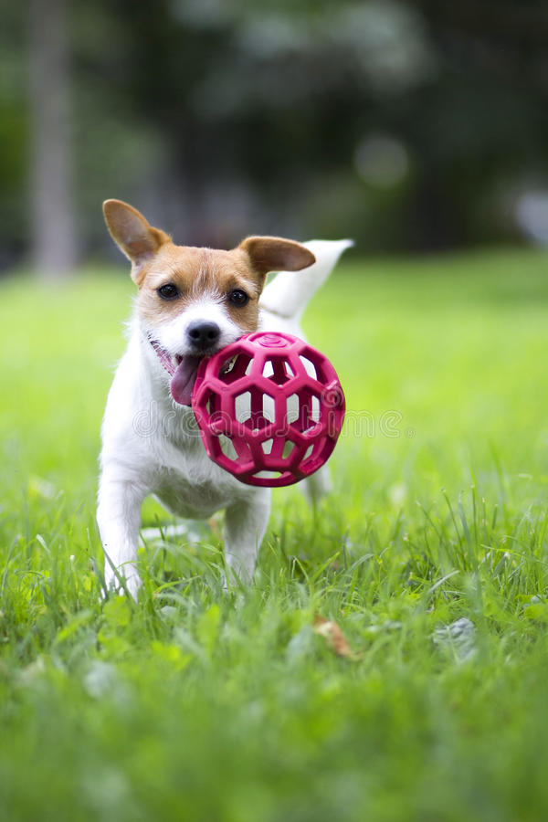 A cheerful dog is a red ball. royalty free stock photo