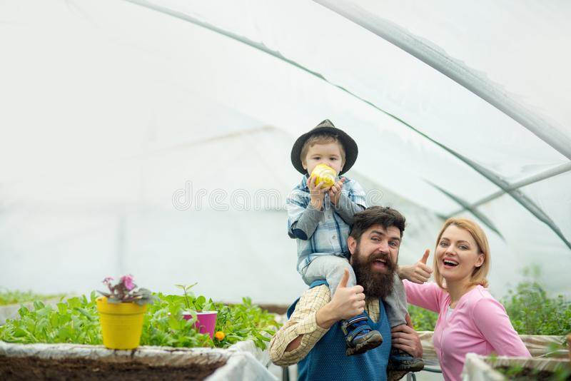Cheerful family in greenhouse. Father in blue vest holding his son on shoulders while kid is eating apple. Bearded man stock photo