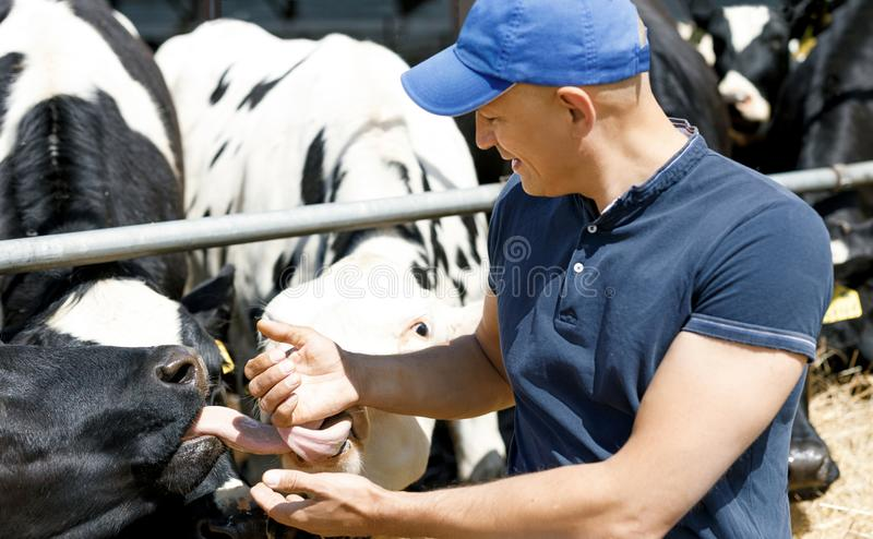 Cheerful farmer surrounded by cows on farm stock images