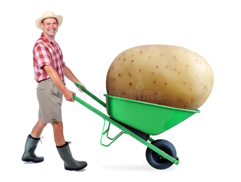 Cheerful gardener carrying a large potato. A man pushing a wheelbarrow with big potato. Successful vegetable grower farmer. Large harvest of genetically royalty free stock photo