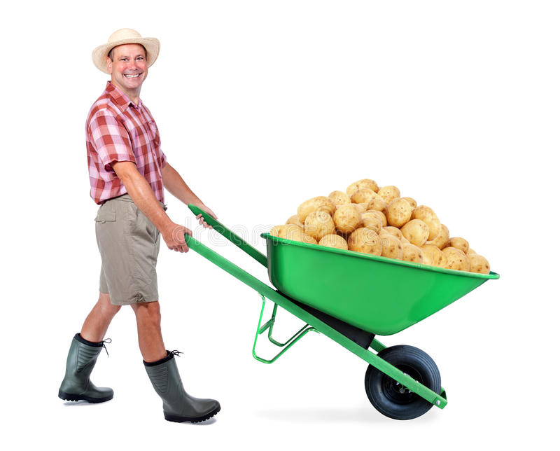 Cheerful gardener carrying a pile of large potato. A man pushing a wheelbarrow with big heap of potato. Successful vegetable grower farmer. Large harvest of stock images