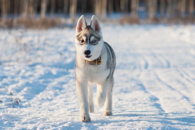 Cheerful husky