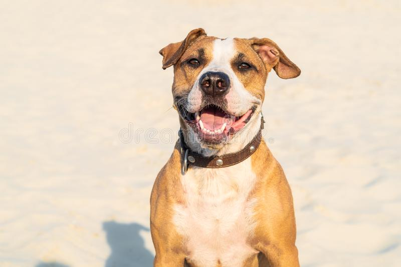 Cheerful kind dog sits in sand outdoors. Cute staffordshire terr stock image