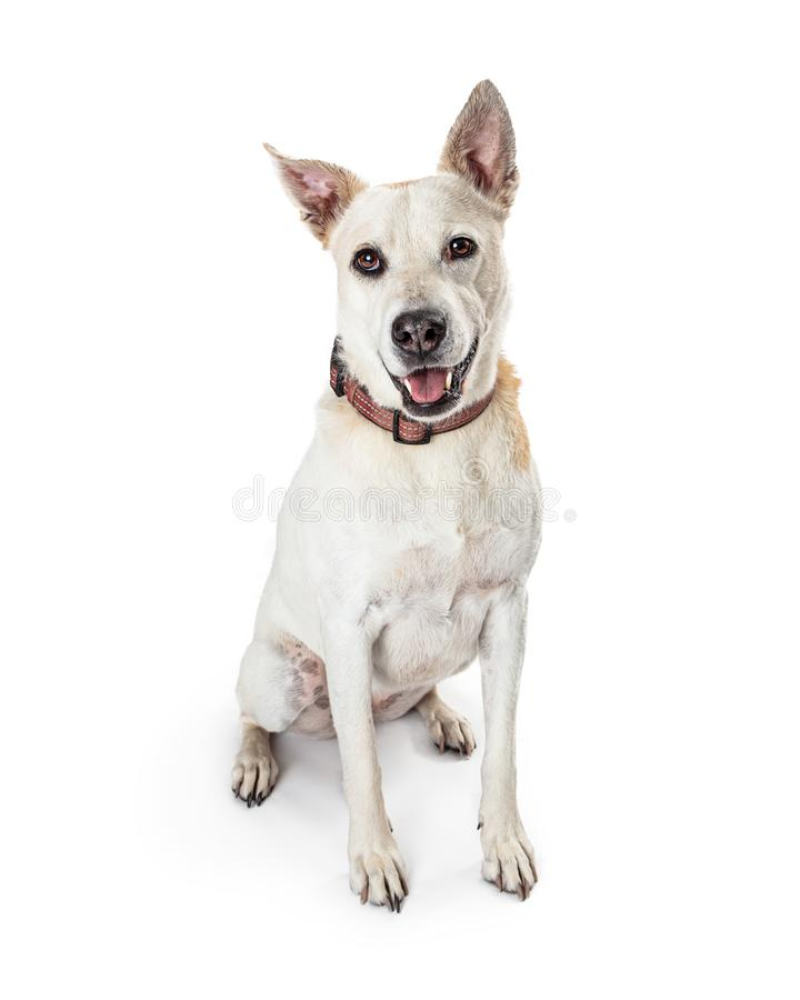 Cheerful Mixed Large Breed White Dog stock images