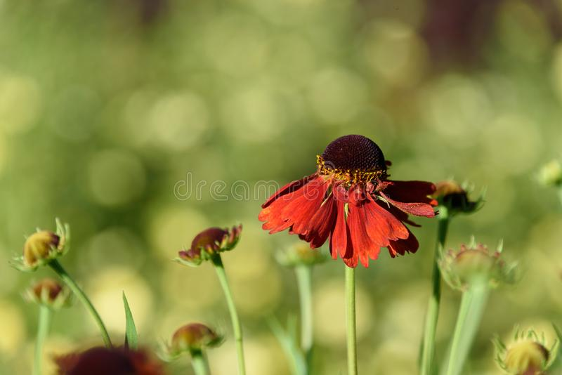 Cheerful nature background of red/orange cone flowers against a blurred garden background of greens and yellows stock photo