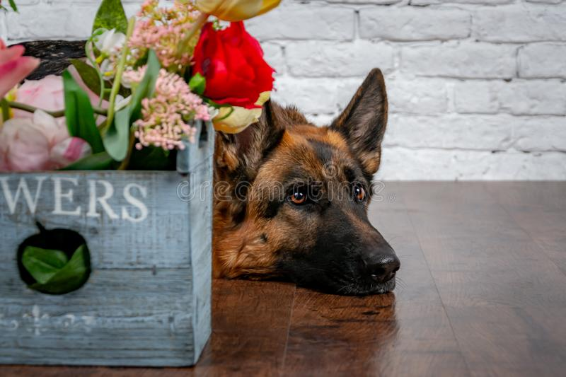 Cheerful perky dog on a brick background. German Shepherd with a bouquet of flowers. stock image