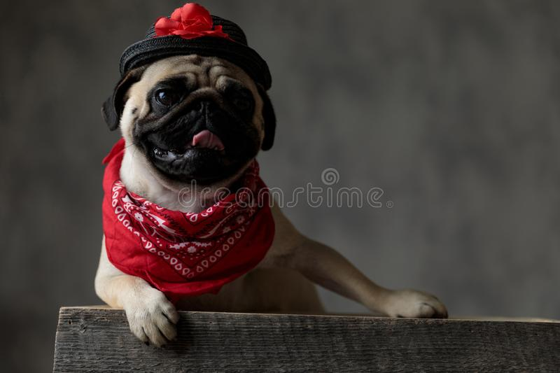 Cheerful pug wearing a black hat and a red bandana. Laying down and resting on a wooden box with tongue exposed, panting and looking to side royalty free stock photo