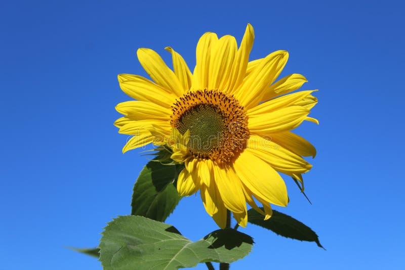 A sunflower against a cloudless blue sky stock photos
