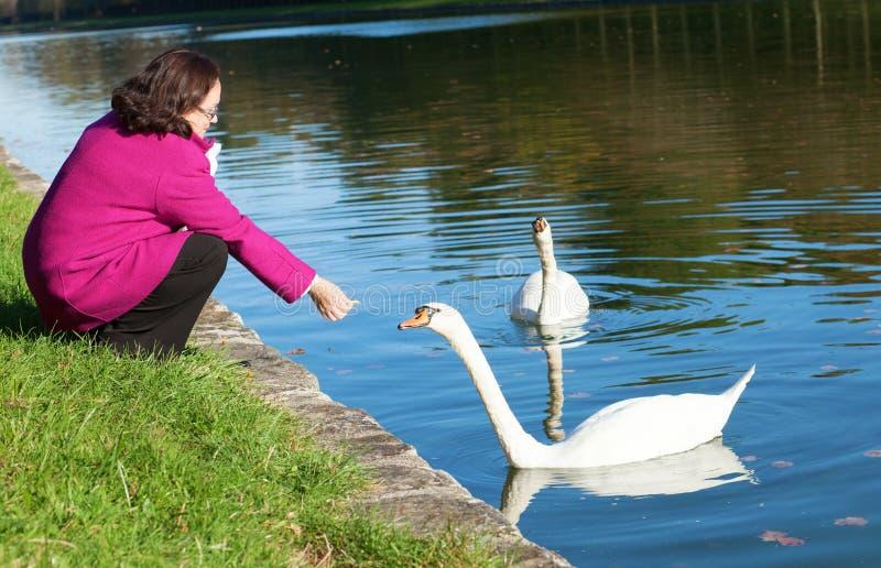Cheerful woman feeding swans in park. Cheerful middle aged woman feeding swans in park stock image