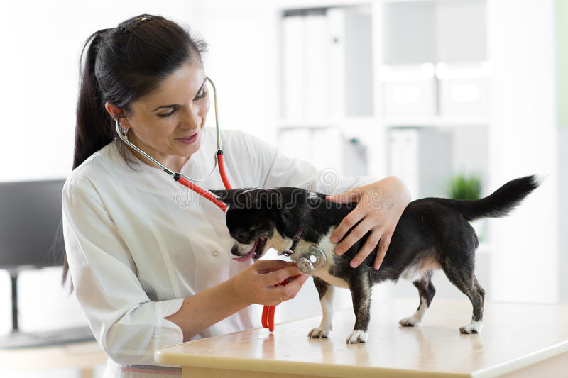 Cheerful young female veterinarian doctor using stethoscope listening to the heartbeat of a terrier canine dog at the royalty free stock photos