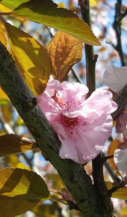 cheery blomning arkivfoto
