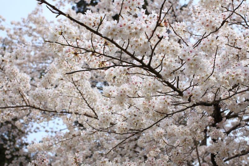 Cheery blossom royalty free stock image