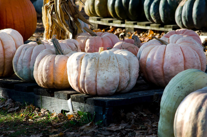 Cheese pumpkins stock photography