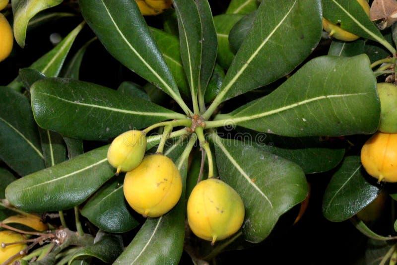 Cheesewood giapponese nella fase di fruttificazione, in alloro australiano, in pittosporum giapponese, in tobira di Pittosporum,  immagine stock