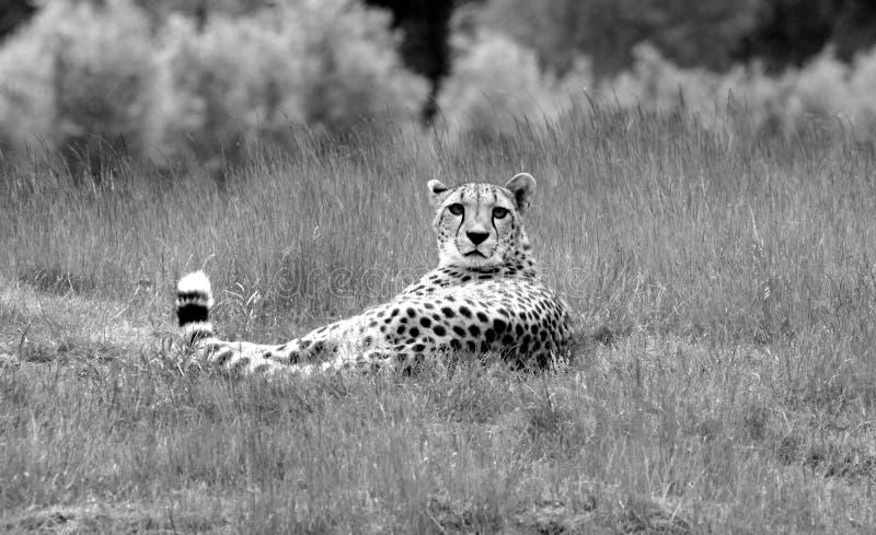 Cheeta在看我的草在 免版税库存照片