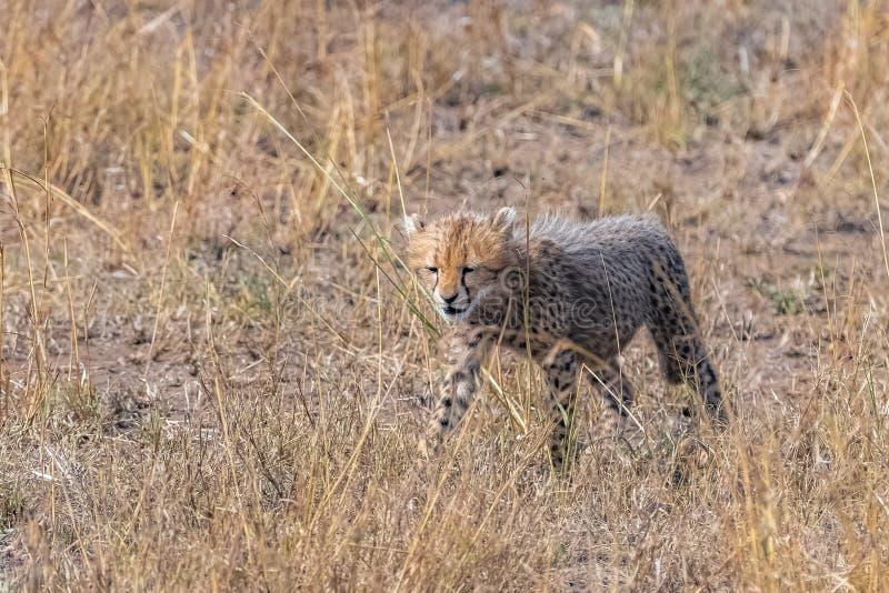 Cheeta,大草原的婴孩 免版税图库摄影