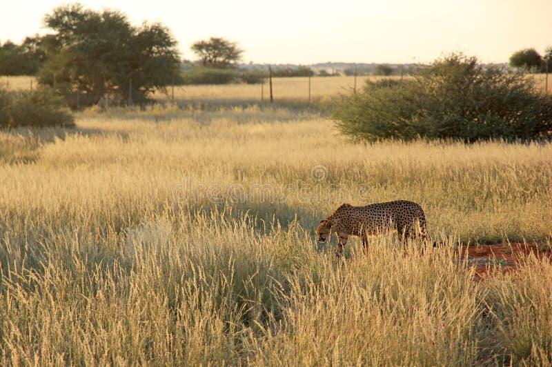 Cheeta, Ναμίμπια στοκ φωτογραφία με δικαίωμα ελεύθερης χρήσης