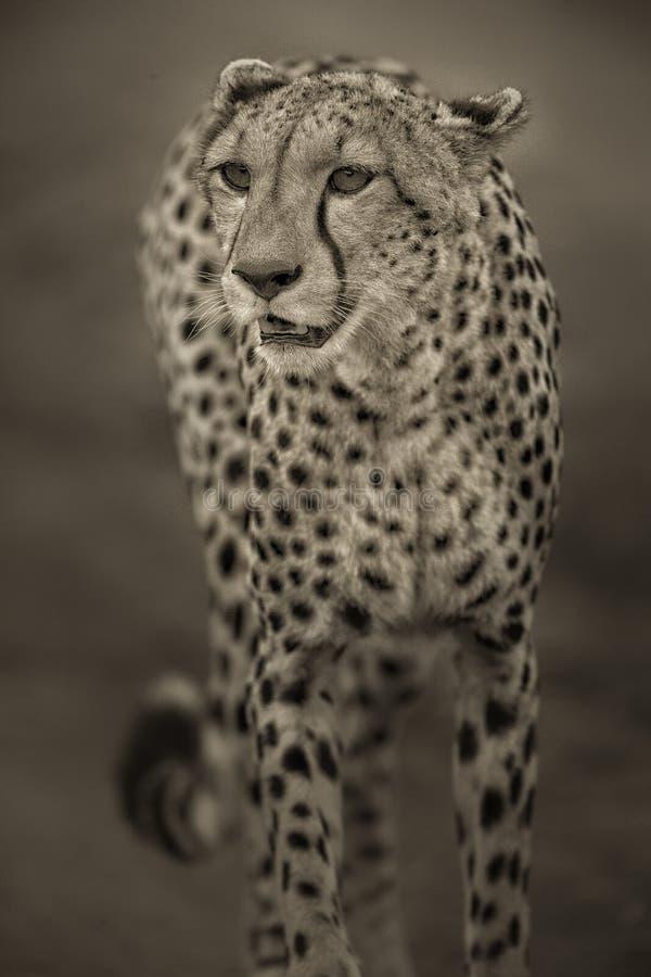 Cheeta imagens de stock