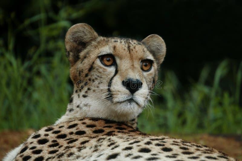 Download Cheeta stock photo. Image of beauty, carnivore, asian - 4467824