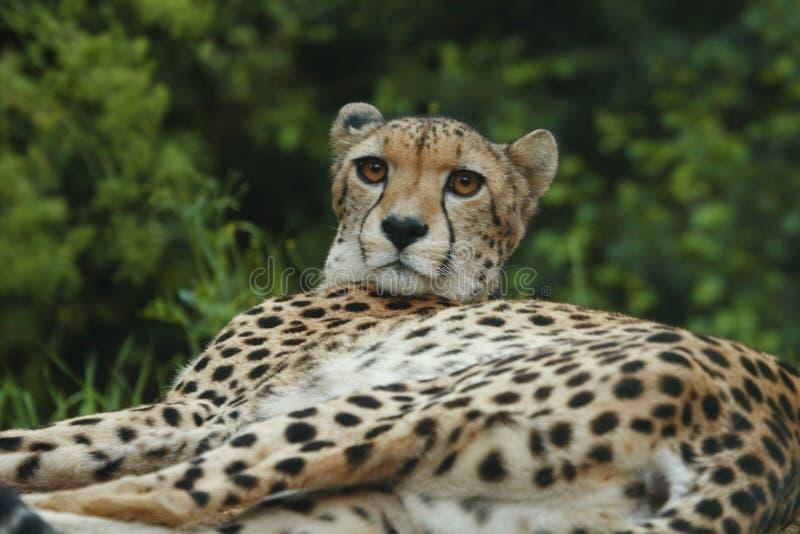 Download Cheeta stock photo. Image of anger, captive, chitah, indian - 5319636