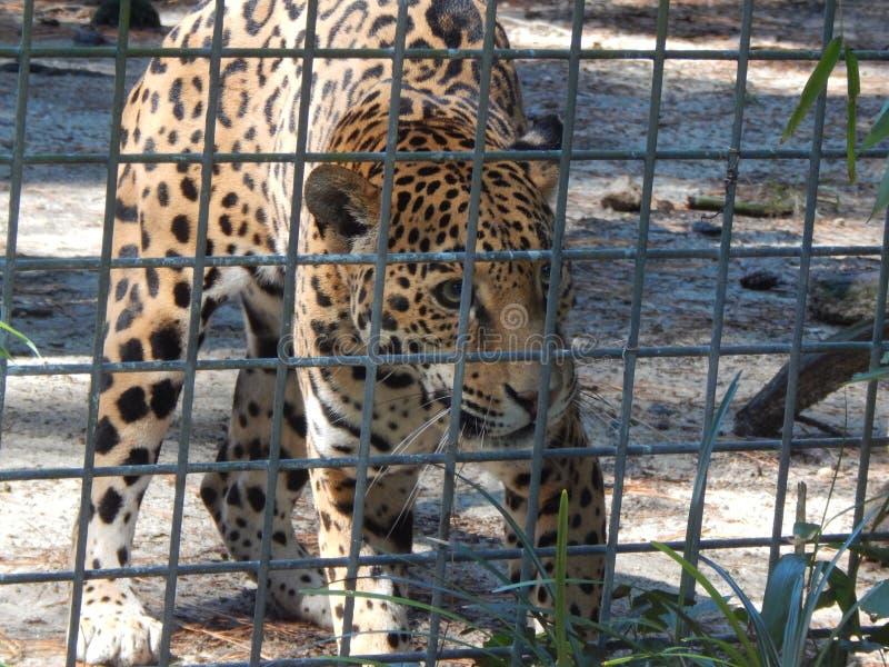 Cheeta royaltyfria bilder