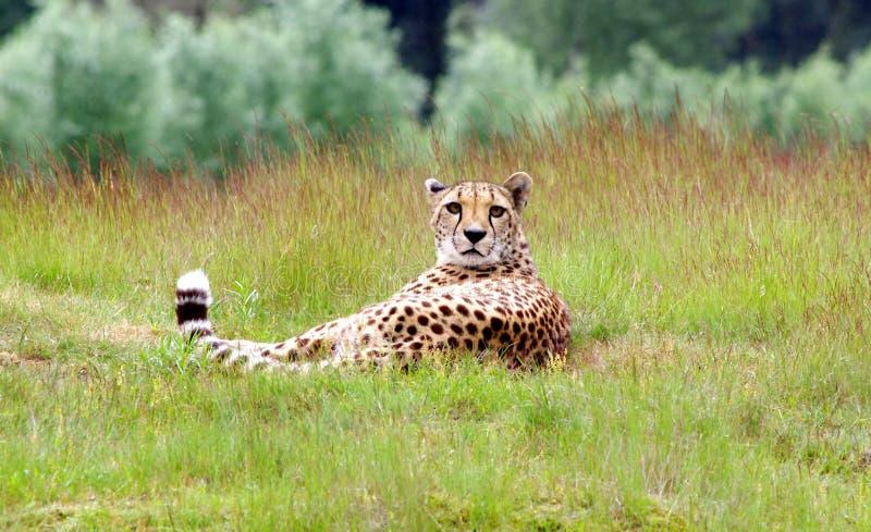 Cheeta liegt im Gras, das mich betrachtet stockbilder