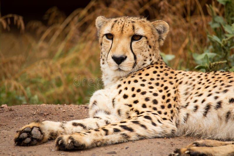 Cheeta que descansa em uma máscara fotos de stock