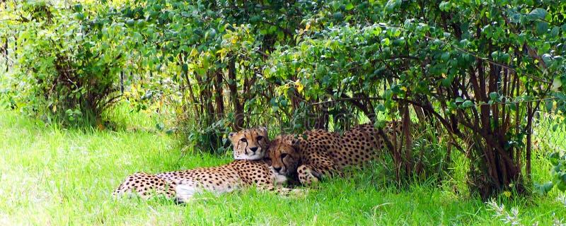 Cheetach, animaux amicaux au zoo de Prague images stock