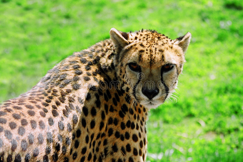 Download Cheetah stock photo. Image of spots, animal, fast, shiny - 108822