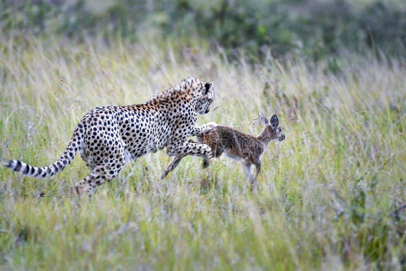 cheetah fotografie stock
