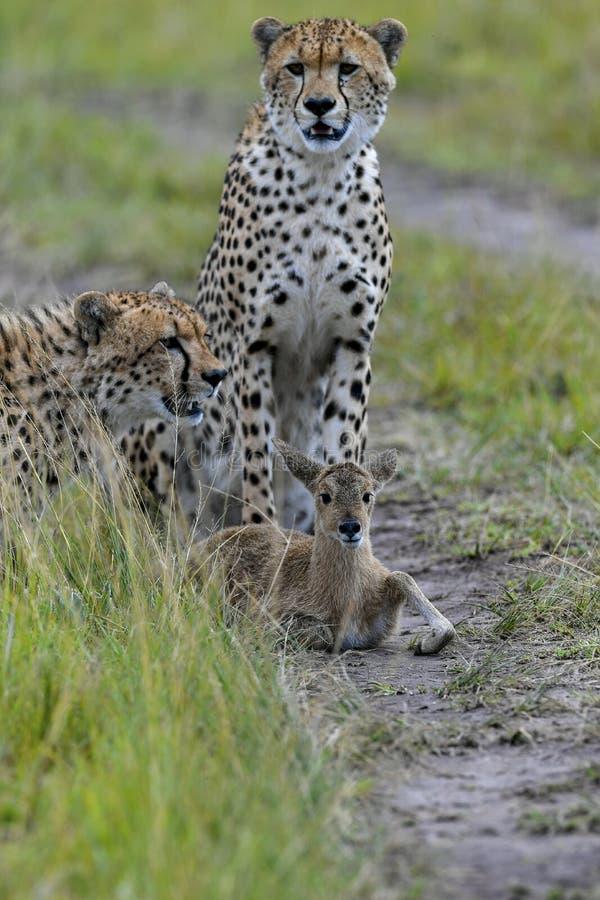 cheetah fotografia stock libera da diritti