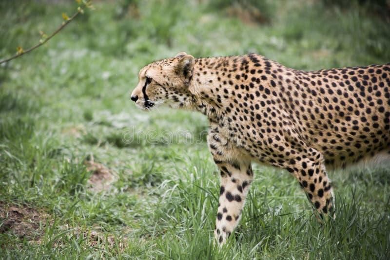 cheetah royaltyfria foton