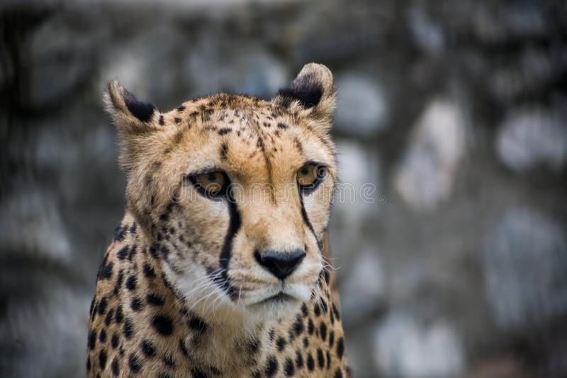 cheetah foto de stock royalty free