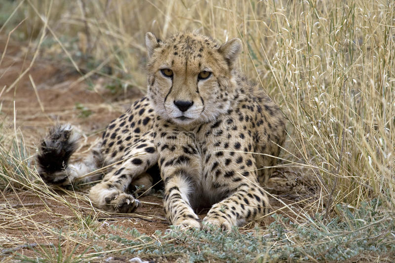 Download Cheetah stock image. Image of jubatus, african, relocation - 11133763