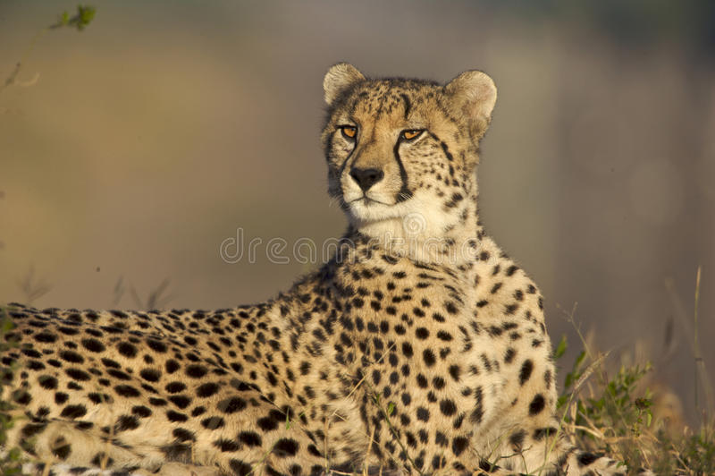 Download Cheetah stock image. Image of outdoors, front, head, photography - 11150669