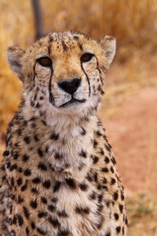 Download Cheetah stock photo. Image of spots, mammal, animal, wild - 11683552