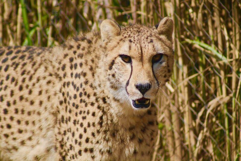 cheetah stockbild