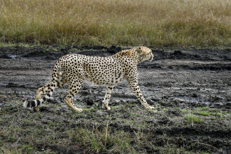 cheetah immagine stock libera da diritti