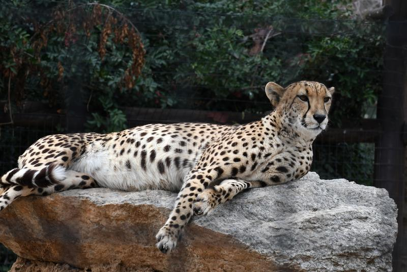 cheetah images stock