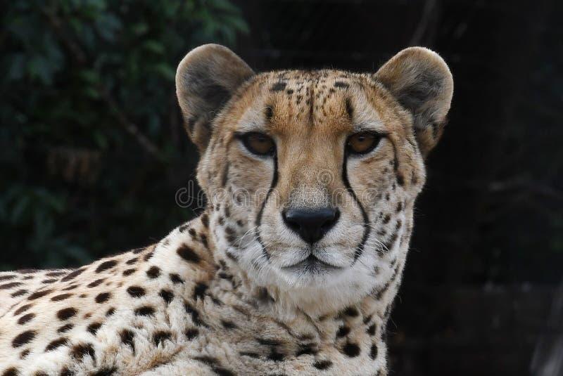 cheetah image stock