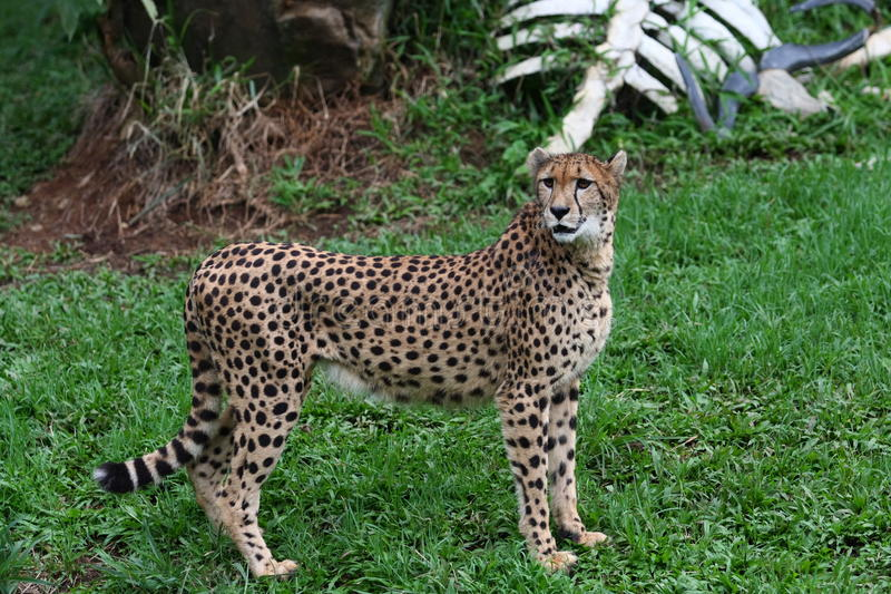 Cheetah. The cheetah (Acinonyx jubatus) is an atypical member of the cat family (Felidae) that is unique in its speed, while lacking strong climbing abilities stock image