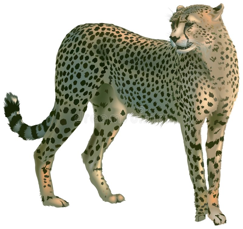 Cheetah. (Acinonyx jubatus) - High detailed illustration