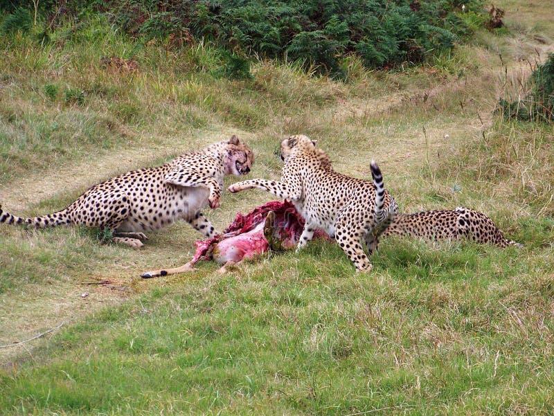 Download Cheetah stock photo. Image of coat, fight, dangerous, cheetahs - 1729726