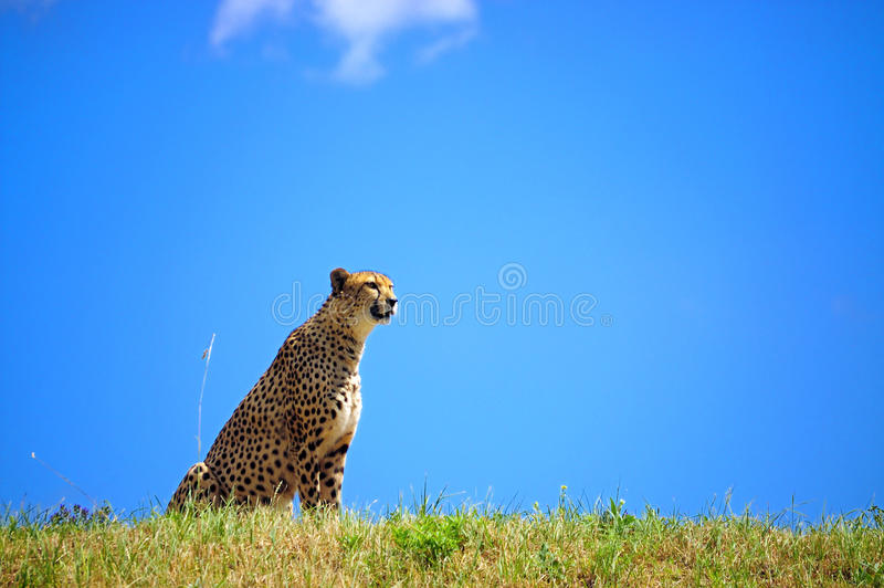 Download Cheetah stock photo. Image of endangered, nature, spots - 17341186