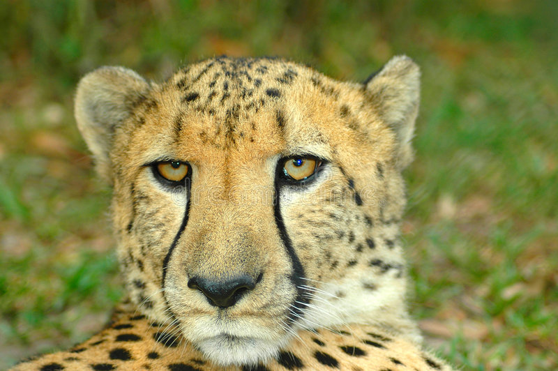 Download Cheetah stock photo. Image of acinonyx, desert, cheetahs - 2016208