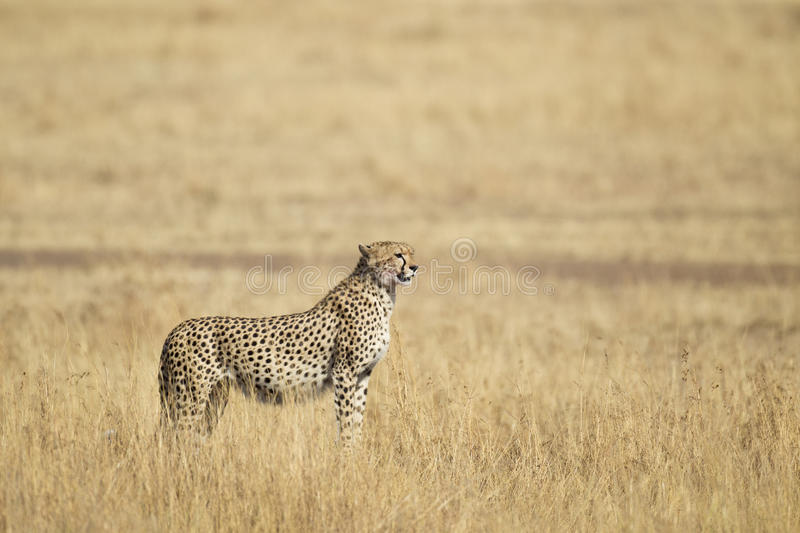 Download Cheetah stock photo. Image of cheetah, maasai, mammal - 20430220
