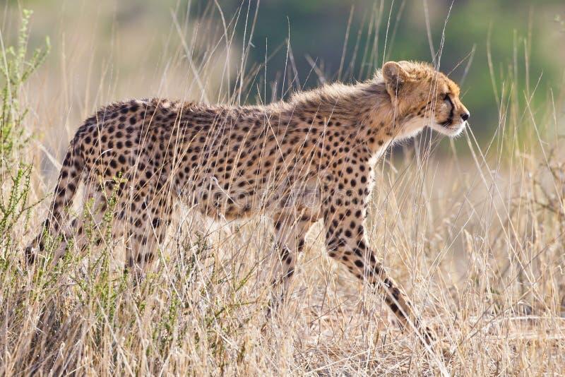 Download Cheetah stock photo. Image of hunter, south, cubs, hunters - 22635228