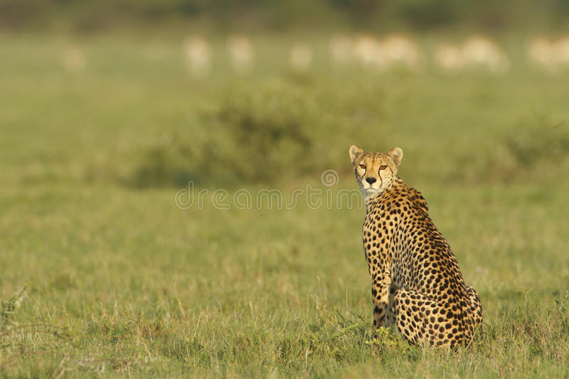 Cheetah. A Cheetah on Nxai Pan, Botswana stalking it's prey stock image