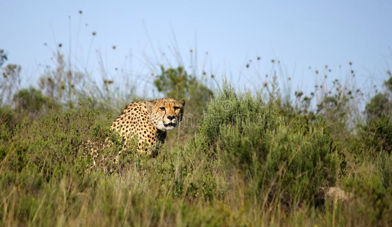 Download Cheetah stock photo. Image of african, eater, animals - 23855516
